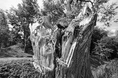 被破坏的老树干,黑白 免版税库存图片