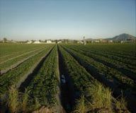 被种植的农厂行 免版税库存图片