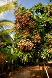 被种植的农场的亚洲龙眼果树园 免版税库存图片