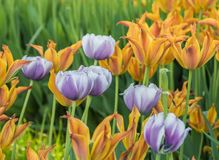 被种植的多彩多姿的郁金香 图库摄影