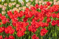 被种植的多彩多姿的郁金香 免版税库存照片