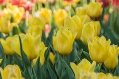 被种植的多彩多姿的郁金香 库存照片