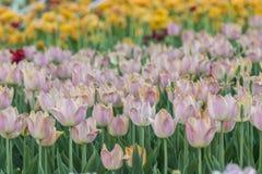 被种植的多彩多姿的郁金香 免版税图库摄影