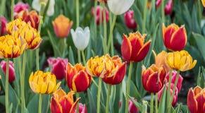 被种植的多彩多姿的郁金香 免版税库存图片