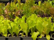 被种植的家庭莴苣 图库摄影