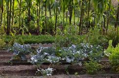 被种植的绿色菜 免版税库存照片