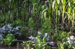 被种植的菜在市区 库存照片