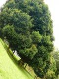 被种植的行倾斜陡峭的结构树 免版税库存照片