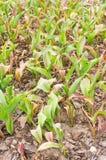 被种植的郁金香 库存照片