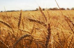 被种植的黑麦 库存照片