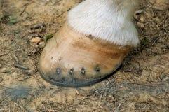 被穿上鞋子的英尺马 库存照片