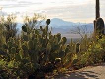 被突出的仙人掌在有山的沙漠 库存照片