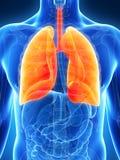 被突出的男性肺 免版税库存图片