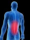 被突出的背部肌肉 向量例证