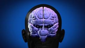 被突出的脑子零件 库存例证