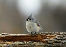 被簇生的北美山雀 库存照片