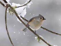 被簇生的雪北美山雀 免版税库存图片