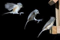被簇生的baeolophus双色的着陆北美山雀 免版税库存照片