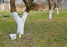 被粉刷的果树在庭院里 春天 库存图片