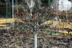 被粉刷的醋栗树春天保护 免版税图库摄影