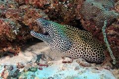 被系带的海鳗 库存图片