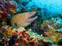 被系带的海鳝 库存图片