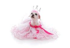 被纵容的公主或芭蕾舞女演员宠物 库存图片