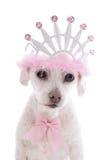 被纵容的公主爱犬 免版税库存照片