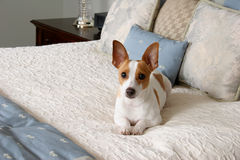 被纵容的小狗 免版税库存图片