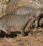 被结合的博茨瓦纳猫鼬 免版税图库摄影