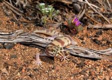 被结合的叫的沙漠壁虎蜥蜴 库存图片