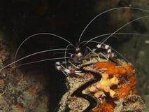被结合的拳击手hispidus虾stenopus 库存照片