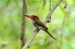 被结合的母翠鸟 免版税库存照片