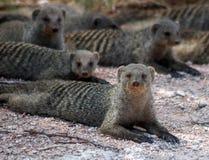 被结合的猫鼬在纳米比亚 库存照片