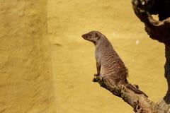 被结合的猫鼬 免版税库存图片