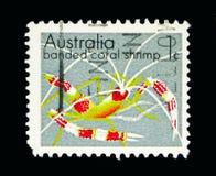 被结合的珊瑚虾(Stenopus hispidus),海生动物和矿 免版税库存图片