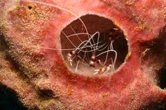 被结合的珊瑚隐藏的虾海绵 免版税库存图片