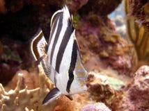 被结合的蝴蝶鱼 免版税库存图片