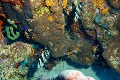被结合的蝴蝶鱼 库存图片