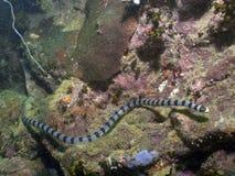 被结合的colubrina krait laticauda海蛇 免版税库存照片