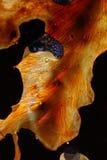 被结晶的模式硫磺 库存图片