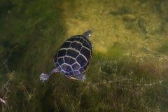 被绘的乌龟在淡水湖 免版税图库摄影