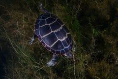被绘的乌龟在New England淡水湖 库存照片