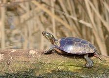 被绘的乌龟 库存图片