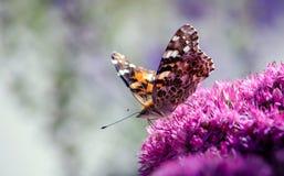 被绘的夫人蝴蝶准备好为离开 免版税图库摄影