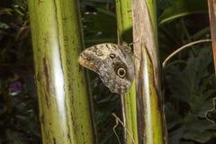 被绘的夫人蝴蝶详细在一个厚实的植物词根在温室里 免版税库存照片