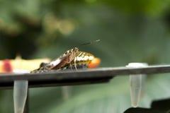 被绘的夫人蝴蝶详细在一张桌上在温室里 免版税库存图片