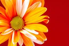 被绘的雏菊 免版税图库摄影