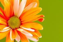 被绘的雏菊 免版税库存照片