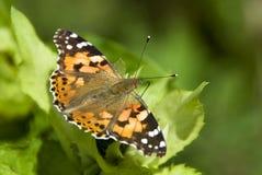 被绘的Butterfly夫人- Vanessa cardui 库存图片